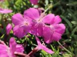 Pfingst-Nelke 'La Bourboule', Dianthus gratianopolitanus 'La Bourboule', Topfware