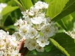 Pflaumenblättrigen Weißdorn, 60-100 cm, Crataegus prunifolia / persimilis, Wurzelware