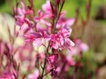 Prachtkerze 'Siskiyou Pink', Gaura lindheimerii 'Siskiyou Pink', Topfware