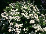 Prachtspiere, 60-100 cm, Spiraea vanhouttei, Wurzelware