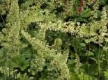 Purpurglöckchen, Heuchera villosa var. macrorrhiza, Topfware