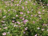 Pyrenäen-Storchschnabel, Geranium endressii, Topfware