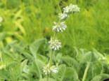 Quirlblütiger Salbei 'Alba', Salvia verticillata 'Alba', Topfware