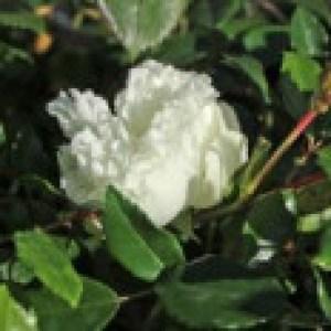 Ramblerrose 'Alberic Barbier', Rosa 'Alberic Barbier', Wurzelware