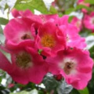 Ramblerrose 'American Pillar', Rosa 'American Pillar', Containerware