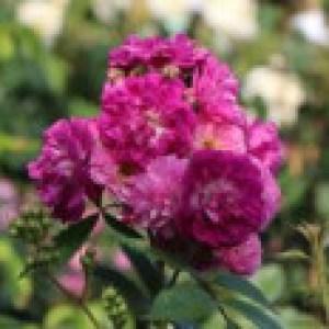 Ramblerrose 'Perennial Blue', Rosa 'Perennial Blue' ADR-Rose, Wurzelware