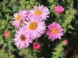 Raublatt-Aster 'Rosa Sieger', Aster novae-angliae 'Rosa Sieger', Topfware