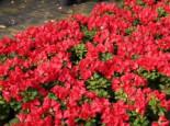 Rhododendron 'Baden-Baden', 20-25 cm, Rhododendron repens 'Baden-Baden', Containerware