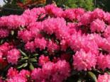 Rhododendron 'Kalinka', 25-30 cm, Rhododendron yakushimanum 'Kalinka', Containerware