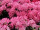 Rhododendron 'Marlis', 20-25 cm, Rhododendron yakushimanum 'Marlis', Containerware