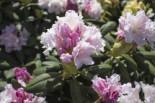 Rhododendron 'Schneewolke', 25-30 cm, Rhododendron yakushimanum 'Schneewolke', Containerware
