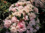 Rhododendron 'Wanna Bee', 25-30 cm, Rhododendron yakushimanum 'Wanna Bee', Containerware