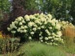 Rispenhortensie 'Grandiflora', 40-60 cm, Hydrangea paniculata 'Grandiflora', Containerware