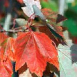 Rotahorn 'October Glory', 100-125 cm, Acer rubrum 'October Glory', Containerware