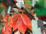 Rotahorn 'October Glory', 100-125 cm, Acer rubrum 'October Glory', Containerware