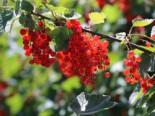 Rote Johannisbeere 'Jonkheer van Tets', 30-40 cm, Ribes rubrum 'Jonkheer van Tets', Containerware