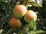 Säulenapfel 'Goldcats', 50-60 cm, Malus 'Goldcats', Containerware
