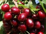Sauerkirsche 'Köröser Weichsel', Stamm 40-60 cm, 120-160 cm, Prunus 'Köröser Weichsel', Wurzelware