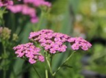Schafgarbe 'Kelwayi', Achillea millefolium 'Kelwayi', Topfware