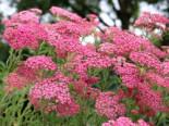 Schafgarbe 'Lilac Beauty', Achillea millefolium 'Lilac Beauty', Topfware