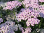 Schafgarbe 'Wonderful Wampee', Achillea millefolium 'Wonderful Wampee', Topfware