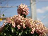 Schattenglöckchen 'Valley Rose', 20-25 cm, Pieris japonica 'Valley Rose', Containerware