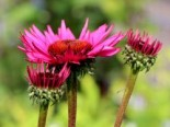 Scheinsonnenhut 'Fatal Attraction' ®, Echinacea purpurea 'Fatal Attraction' ®, Topfware