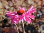 Scheinsonnenhut 'Prairie Splendor' ®, Echinacea purpurea 'Prairie Splendor' ®, Containerware