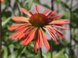 Scheinsonnenhut 'Sundown' ®, Echinacea purpurea 'Sundown' ®, Containerware