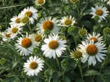 Scheinsonnenhut SunSeekers 'White', Echinacea purpurea SunSeekers 'White', Containerware