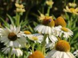 Scheinsonnenhut 'White Meditation', Echinacea purpurea 'White Meditation', Containerware