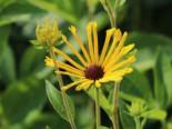 Schwachfilziger Sonnenhut 'Henry Eilers', Rudbeckia subtomentosa 'Henry Eilers', Topfware