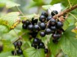 Schwarze Johannisbeere 'Tenah', Stamm 80-90 cm, Ribes nigrum 'Tenah', Containerware