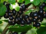 Schwarze Johannisbeere 'Titania', 30-40 cm, Ribes nigrum 'Titania', Containerware