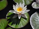 Seerose 'Marliacea Albida', Nymphaea x cultorum 'Marliacea Albida', Topfware