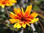 Sonnenauge 'Burning Hearts', Heliopsis helianthoides 'Burning Hearts', Topfware