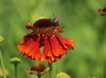 Sonnenbraut 'Sahin's Early Flowerer' ®, Helenium x cultorum 'Sahin's Early Flowerer' ®, Topfware