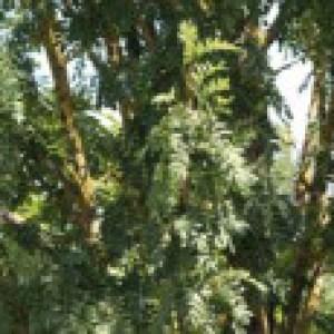 Speierling, 80-100 cm, Sorbus domestica, Containerware