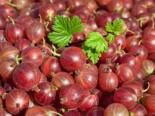 Stachelbeere 'Hinnonmäki rot', Stamm 40-50 cm, 80-90 cm, Ribes uva-crispa 'Hinnonmäki rot', Stämmchen