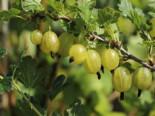 Stachelbeere 'Invicta' hellgrün, Stamm 80-90 cm, 120-130 cm, Ribes uva-crispa 'Invicta', Stämmchen