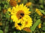 Stauden-Sonnenblume 'Capenoch Star', Helianthus decapetalus 'Capenoch Star', Topfware