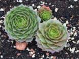 Steinrose 'Smaragd', Sempervivum marmoreum 'Smaragd', Topfware