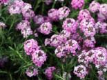 Steintäschel 'Warley Ruber', Aethionema armenum 'Warley Ruber', Topfware