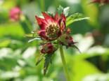Sterndolde 'Rubra', Astrantia carniolica 'Rubra', Topfware