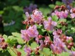 Storchschnabel 'Camce', Geranium macrorrhizum 'Camce', Topfware