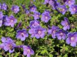 Storchschnabel 'Gravetye', Geranium himalayense 'Gravetye', Topfware