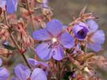 Storchschnabel 'Hocus Pocus', Geranium pratense 'Hocus Pocus', Topfware