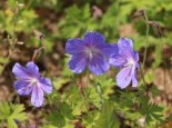 Storchschnabel 'Johnsons Blue', Geranium pratense 'Johnsons Blue', Topfware