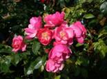 Strauchrose 'Angela' ®, Rosa 'Angela' ®, Wurzelware