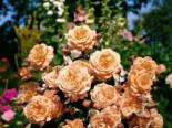 Strauchrose 'Belvedere' ®, Rosa 'Belvedere' ®, Wurzelware